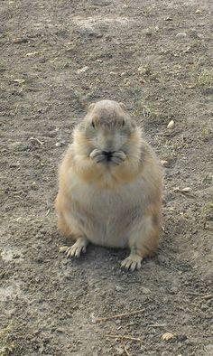 Fat prairie dog