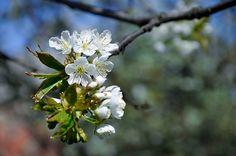 Flowers of Sweet Cherry