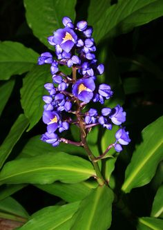 Dichorisandra thyrsiflora - Blue Ginger, Blue-ginger - Hawaiian Plants and Tropical Flowers