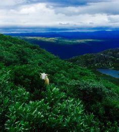 Sheep Gaustadtoppen Norway