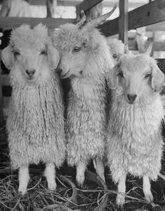 #goatvet congratulates LIFE magazine for having an article on Angoras in the 1940s - Angora: The Goat That Keeps On Giving | LIFE.com