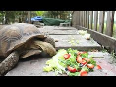 Time lapse of a tortoise eating