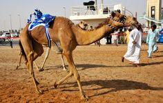 A Day at the Dubai Camel Races