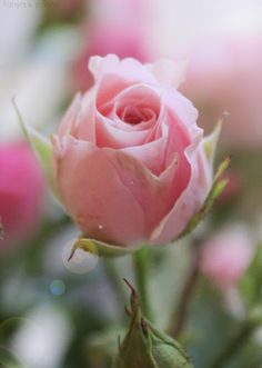 What Inspires.The soft petals of a pink rose.