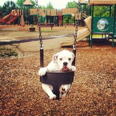 "Puppy Rents Playground for Private Event  Winnie, a 4-month-old Victorian bulldog from New York City, was tired of competing with other kids for swing and slide time. She saved up a little scratch so she could rent the playground from the city and enjoy it all on her own.  ""She was on the swings for a good two to three hours, then the monkey bars,"" says Amelia Foster, a friend. ""She had a blast without those annoying kids running around.""  Submitted by Megan Swift."