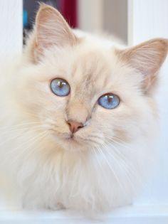 Chat blanc ========================= Bonjour, pour les bijoux Gaby Féerie => http://www.alittlemarket.com/boutique/gaby_feerie-132444.html
