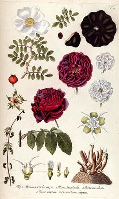Rose illustrations taken from 'Fragmenta Botanica' ( ) by Nikolaus Joseph Jacquin, Mathiae Andreae Schmid. Missouri Botanical Garden's Rare Books Collection. Rose Illustration, Illustration Botanique Vintage, Vintage Botanical Illustration, Vintage Botanical Prints, Botanical Drawings, Vintage Prints, Art Floral, Floral Prints, Rose Prints