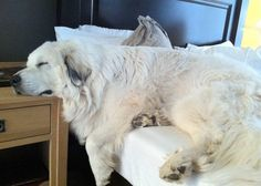 #SchultzFoundation Silly Dogs, Big Dogs, Dogs And Puppies, Great Pyrenees Dog, Pyrenees Puppies, White Dogs, Mountain Dogs, Cute Baby Animals, Mans Best Friend