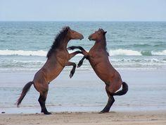Corolla Wild Horse Fund | Corolla Wild Horses Gallery