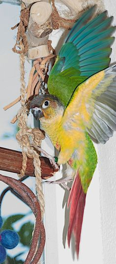 Pip (our yellow sided green cheeked conure)