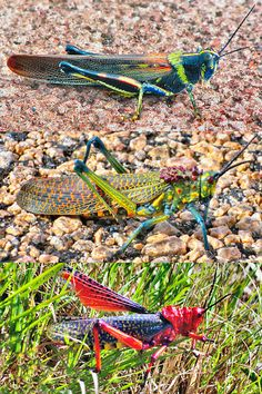 Large Grasshoppers In Madagascar; South Africa