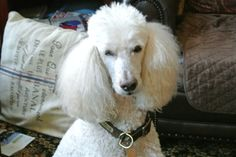 """#Poodle #white #standard """"This is rescued Rocky - always the gentleman."""""""