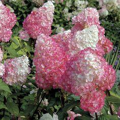Hydrangea Vanilla Strawberry at Wayside Gardens