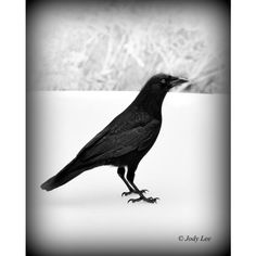 Black Crow ,In Snow ,Wildlife Photography, Crow ,Wall Art, Nature... ($17) ❤ liked on Polyvore featuring home, home decor, wall art, putterpaws, wildlife home decor, photography wall art, black wall art, photographic wall art and black home decor