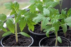 You Can Experience vegetable garden With These Helpful Suggestions Growing Tomatoes, Growing Plants, Design Jardin, Garden Design, Summer House Garden, Household Plants, Home Vegetable Garden, Terrace Garden, Farm Gardens