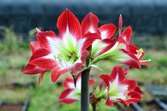 """Next week available in our catalog """"Amaryllis Tres chic""""  #Amaryllis   #Hippeastrum   #амариллис   #アマリリス   #孤挺花   #amarilis   royalcolors.com   #flowers #royalcolors #Floral #Flower #Bloom #Beautiful #Amazing #bulbs #keukenhof #Netherlands"""