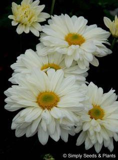 Chrysanthemum Cream Enbee Wedding: Creamy white single spray chrysanthemum. Flowers mid September