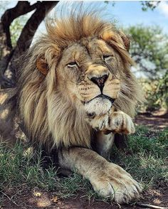 African Male Lion Being a Cutesy. Big Cats, Cool Cats, Cats And Kittens, Beautiful Lion, Animals Beautiful, Animals And Pets, Cute Animals, Lion Photography, Lions Photos