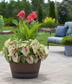 Fresh Ideas for Growing Cannas in Your Garden - Longfield Gardens Container Flowers, Container Plants, Container Gardening, Succulent Containers, Summer Bulbs, Pot Jardin, Deco Floral, Ornamental Plants, Spring Garden