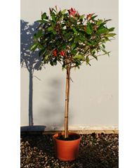 Photinia Red Robin Topiary Standard (Photinia x fraseri) approx clear stem and crown in 7 litre pots