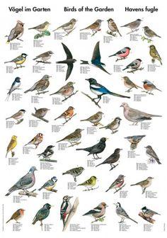 Plakat av fugler i norske hager (liten versjon)