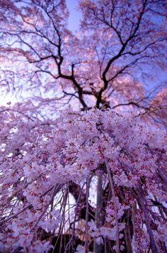 Cherry blossoms in full bloom, Miharu, Fukushima, Japan