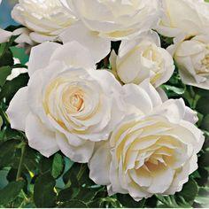 Moondance Cream-white Floribunda Rose