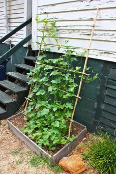 Honeydew Melon Vines on a Trellis - nice, but will it handle weight of melons? Honeydew Melon Vines on a Trellis - nice, but will it handle weight of melons? Fenced Vegetable Garden, Vertical Vegetable Gardens, Vegetable Garden Design, Bamboo Trellis, Vine Trellis, Garden Trellis, Trellis Ideas, Trellis Design, Climbing Plants Fast Growing