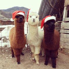 42 Llamas and Alpacas That Shouldn't Be This Cute Alpacas, Cute Funny Animals, Cute Baby Animals, Animals And Pets, Wild Animals, Animal Quotes, Animal Memes, Cute Alpaca, Alpaca Funny