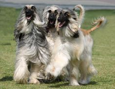 Top Dog Breeds, Hound Breeds, Hound Dog, Afghan Hound, Goofy Dog, Dog Stories, Horse Love, Dogs Of The World, Happy Dogs