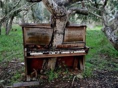Tree growing through a piano