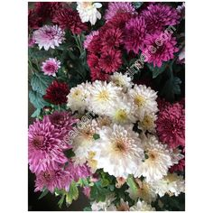Chrysanthemum different colors - Home Gardening for Beginners Chrysanthemums, Gardening For Beginners, Colorful Flowers, Different Colors, Special Events, Floral Wreath, Home And Garden, Wall Decor, Wallpapers