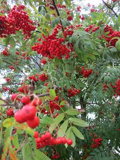 Mountain Ash or Pihlaja  My Love Bugs