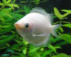 Aquariumdomain Com Kissing Gourami Fish Pet Fish