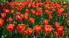 Tulips in Villa le Barone 's gardens