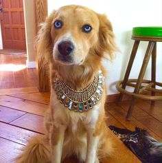 My person just finished her Fashion for Paws fitting for the runway show this…