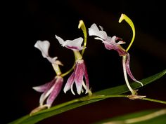 'Orchid-Mimicy': Flowers of Sigmastostalix species .... Mimicking being in a Parade - Flickr - Photo Sharing!