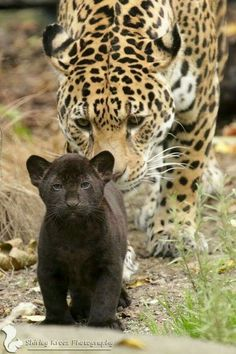 A Leopard mama looking after her young Panther. - Crowdfunding - Ideas of Crowdfunding - A Leopard mama looking after her young Panther. Big Cats, Cats And Kittens, Cute Cats, Nature Animals, Animals And Pets, Happy Animals, Beautiful Cats, Animals Beautiful, Cute Baby Animals