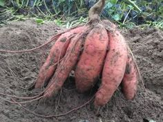 Így lesz tele a kerted édesburgonyával, röhejesen olcsó megoldás Garden Art, Garden Design, Health 2020, Tropical Plants, Fruits And Vegetables, Vegetable Garden, Organic Gardening, Container Gardening, Food And Drink