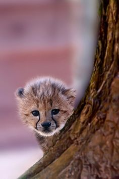 Little Cheetah Cub  (by Kees Knook)