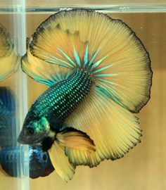 Over halfmoon green mustard gas Betta Fish Types, Betta Fish Tank, Beta Fish, Types Of Fish, Fish Tanks, Colorful Fish, Tropical Fish, Fantail Goldfish, Siamese Fighting Fish
