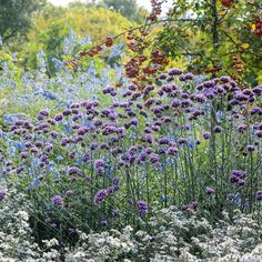 Verbena bonariensis Its long flowering season will provide your garden with a beautiful display right through September and October. A magnet to butterflies too.