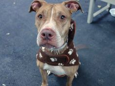 TO BE DESTROYED 12/03/14 Manhattan Center -P  My name is MAXIMUS. My Animal ID # is A1021722. I am a neutered male brown and white pit bull mix. The shelter thinks I am about 6 YEARS old.  I came in the shelter as a OWNER SUR on 11/26/2014 from NY 10460, owner surrender reason stated was PETS CONFL.