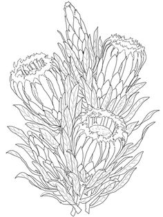 Protea Neriifolia or Oleanderleaf Protea coloring page from Protea category. Select from 20966 printable crafts of cartoons, nature, animals, Bible and many more. Flor Protea, Protea Art, Protea Flower, Flower Coloring Pages, Colouring Pages, Flower Outline, Flower Art, Australian Native Flowers, Simple Line Drawings