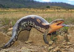 eastern blue tongue lizard