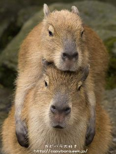 The capybara (Hydrochoerus hydrochaeris) is the largest living rodent in the world. Native to South America Nature Animals, Animals And Pets, Baby Animals, Funny Animals, Cute Animals, Cute Creatures, Beautiful Creatures, Animals Beautiful, Baby Guinea Pigs