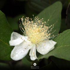 ดอกฝรั่งกิมจู ดอกมีกลิ่นหอม ดอกสีขาว เกสรฟูๆ ดูบอบบางอ่อนไหว ลูกกินได้ ใบเคี้ยวดี มีประโยชน์เพียบ ปลูกเลย ปลูกในกระถาง ออกดอกได้