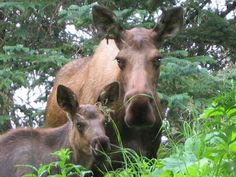 moose  (I don't know where this pic was taken, but we do have Moose here!)