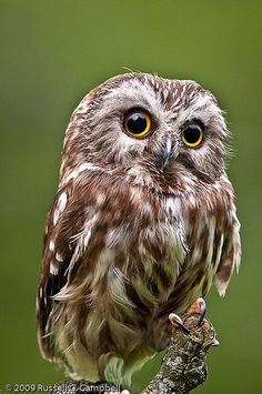Petite Nyctale // Saw-whet Owl by Russ Campbell -