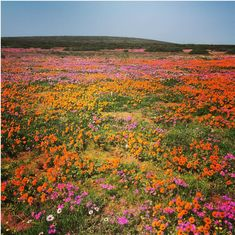 Blooming mad over Cape Town's West Coast wild flowers. #travel
